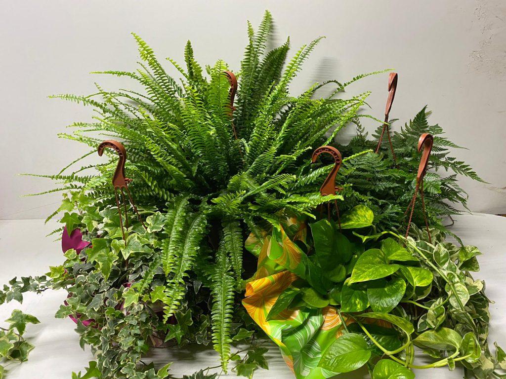 Pack Josgall Plant